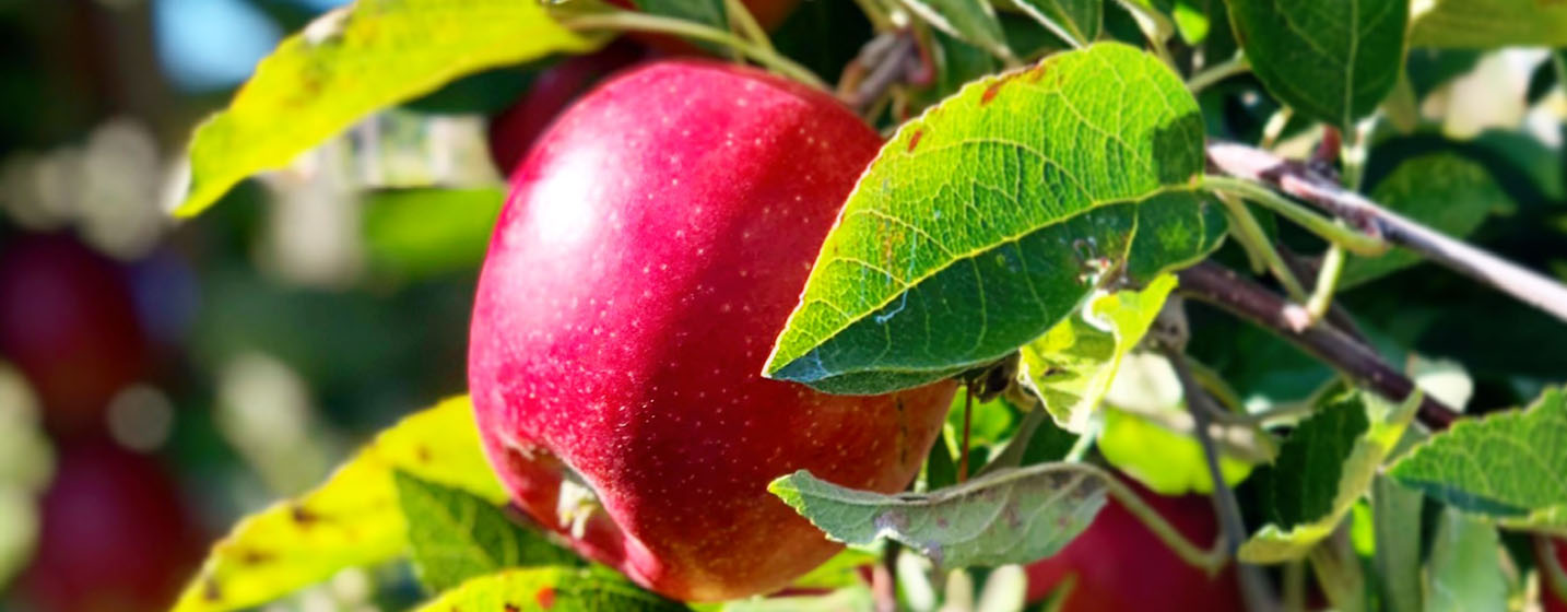 Die leckeren Äpfel